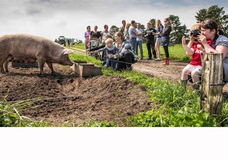 Danskerne spiser mere økologisk grisekød