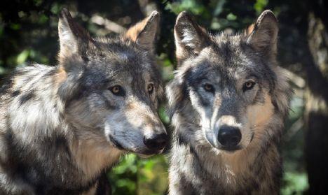 Vær beredt til mødet med ulven: Her er de fem ulveråd