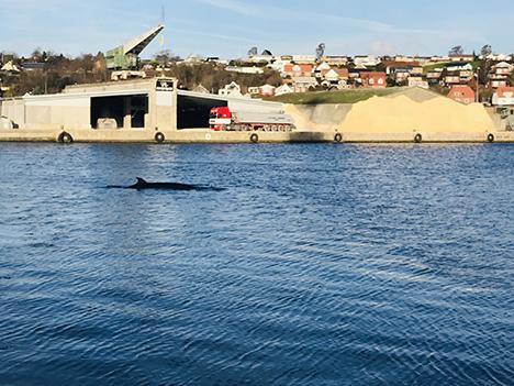 Hvalen i Hobro Havn er død