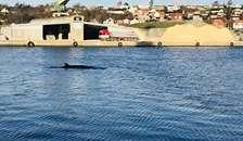 Den døde hval forventes obduceret mandag eller tirsdag