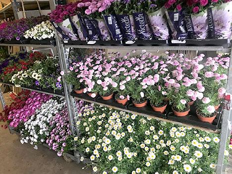 Masser af sommerplanter til plantemarked i Hadsund