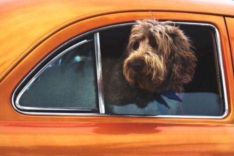 131 hunde efterladt i varm bil i 2018