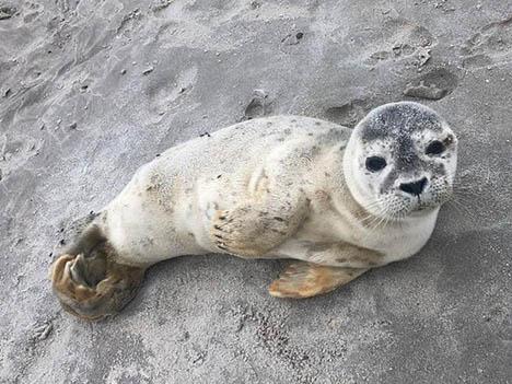 19 procent flere opkald om sæler i 2019