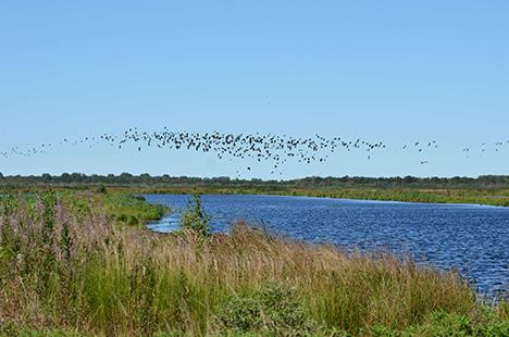 Vandretur omkring den nu genetableret fuglerige sø – Birkesø i Lille Vildmose