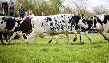 Dans med øko-køerne og byd foråret velkomment
