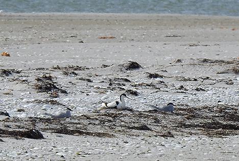 Sjældne fugle yngler med succes på Østkysten