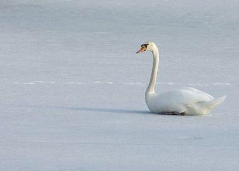 Sidder svanen fast på isen?
